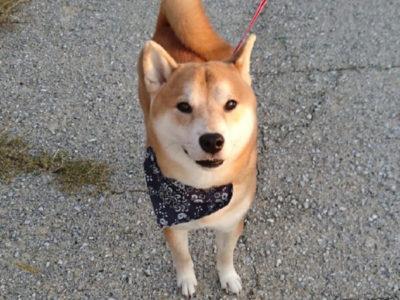 柴犬、茶々丸くんの口コミ画像