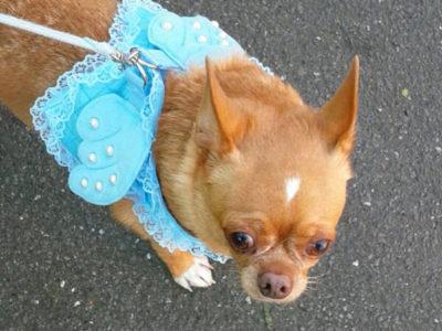 スムースコートチワワ、プリンさんのペット保険口コミ画像
