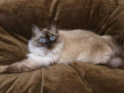 ミックス猫、アスハさん