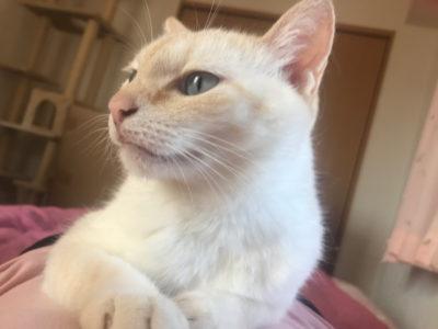 シャム猫のマプさん
