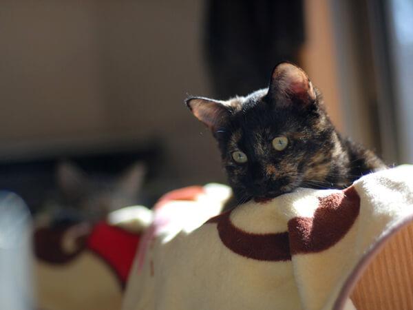 ミックス猫、7歳、ピーコさん