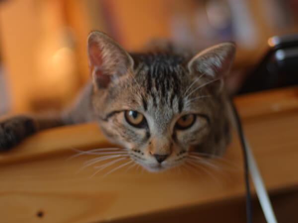 ミックス猫、7歳、あさがお君