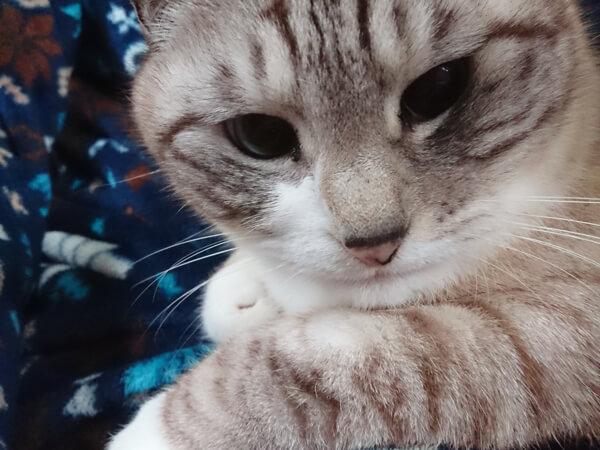 ミックス猫、7歳、レイさん