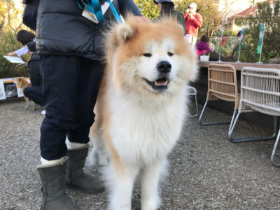 秋田犬、10歳、グリちゃん