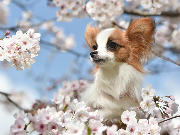 犬種-サムネイル-パピヨン