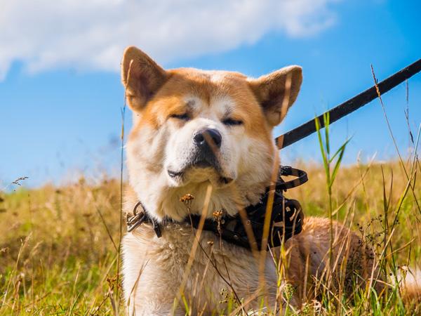 秋田犬、ペコちゃん(お客様都合により写真はダミーです)